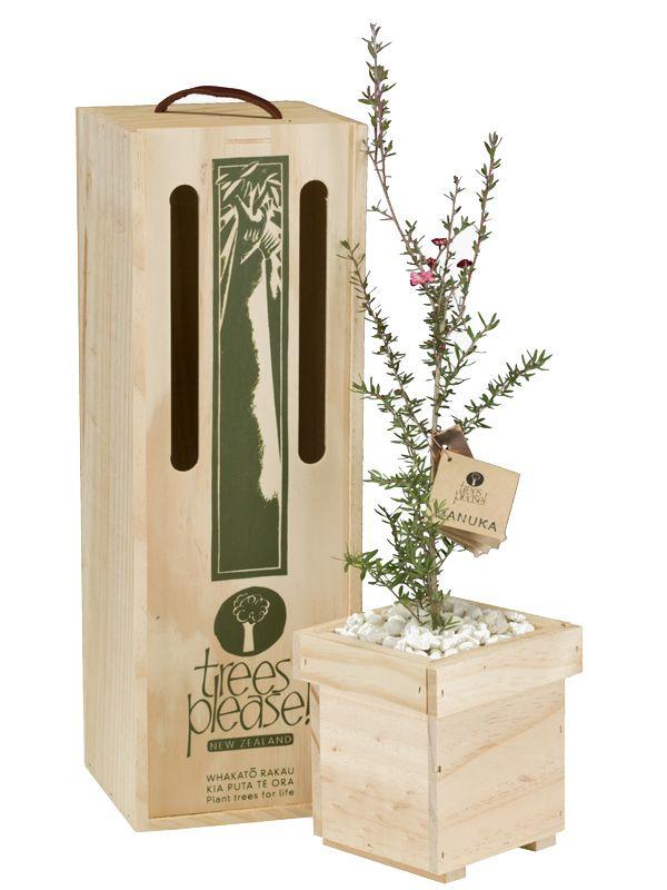 Leptopsermum scoparium - Manuka or Tea Tree. Gorgeous sapling specimen trees boxed and delivered within NZ