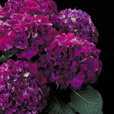 Quot Purple Prince Quot Hydrangea New Hybrid Cross From A Blue