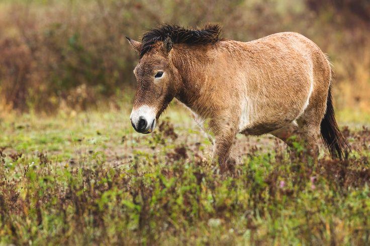 Przewalski-Pferd - The beautiful wild horses, the Przewalski horses