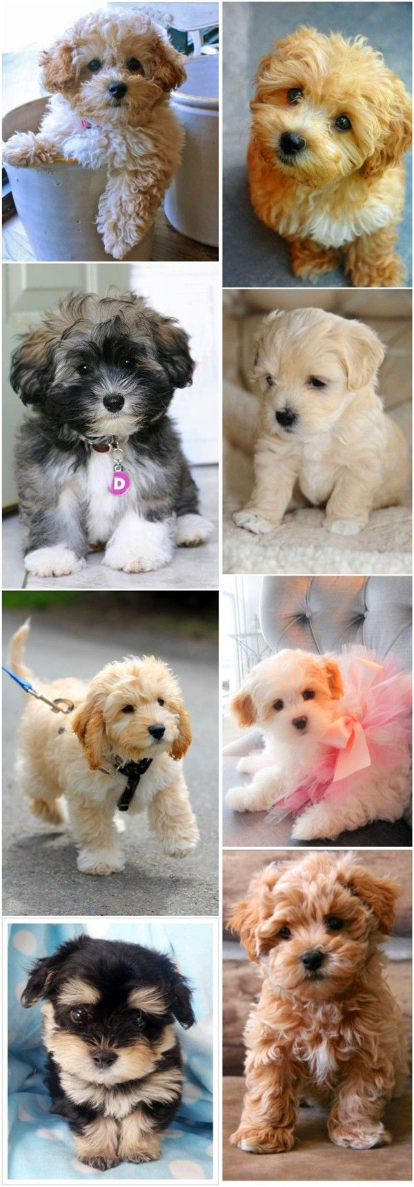 Die 15 süßesten kleinen Hunderassen