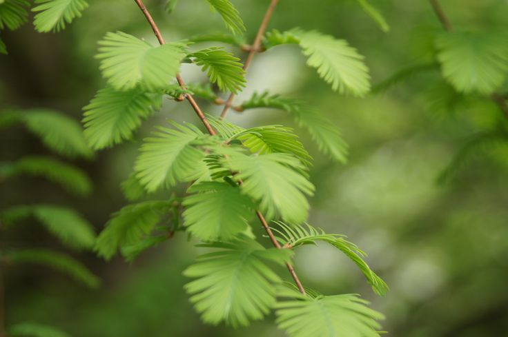 Metasequoia glyptostroboides h e r b a r i u m pinterest for M bel h ffner küchen