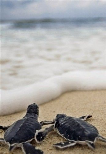 baby turtles headed to the ocean. new life.