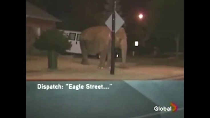 Hilarious 911 Call About Escaped Elephants In Canada https://www.youtube.com/watch?v=amQdBifrWD8