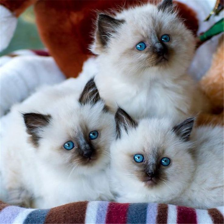 I have a dream cat! In a few years hopefully - Ragdoll kittens >> 25 Amazing Pictures about Ragdoll Cats
