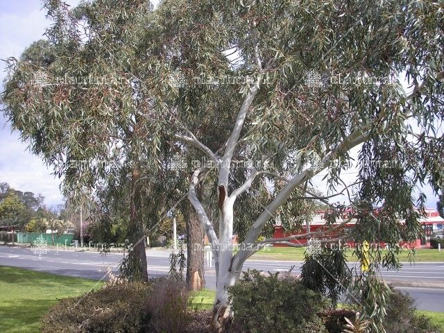 dwarf snow gum - I've put this in the backyard
