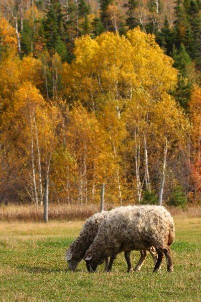 Les moutons d.une bergerie de Sacré-Coeur au #Saguenay_Lac. Tous droits réservés (c) Charles-David Robitaille