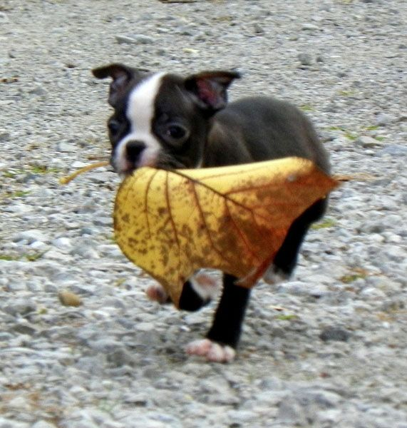 Check Out these Autumnal Pictures of Boston Terrier Dogs with Leaves! ► http://www.bterrier.com/?p=26420 - https://www.facebook.com/bterrierdogs