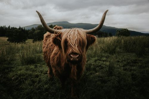 Found a friend shared by Moa on We Heart It #nature #scotland #Texas #farm #travel #cow #highlands #adventure #animal #scottish #FF #L4L #outdoor #random #F4F