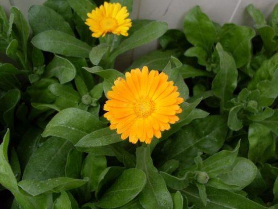 5 piante anti-zanzare facili da coltivare