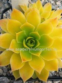 Jovibarba heuffelii 'Lemon Sky' ~ YELLOW