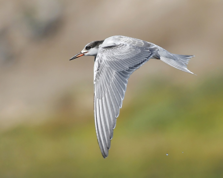 f: Forster Tern, Pennsylvania Wildlife, Birds Iii, Forester Tern, Salah Baazizi, Foster Tern, Forster S Tern