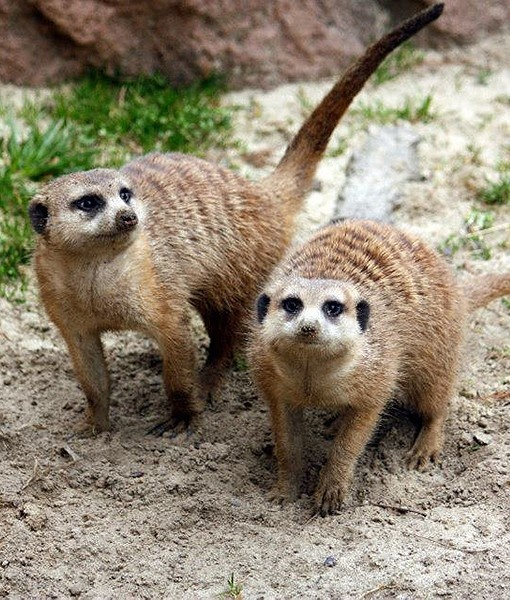 At the Cleveland Metroparks Zoo in Ohio, meerkats enjoy being outside for the first time since last year. How cute are they?