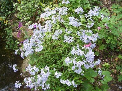 Phlox - Gardens in the Wood of Grassy Creek