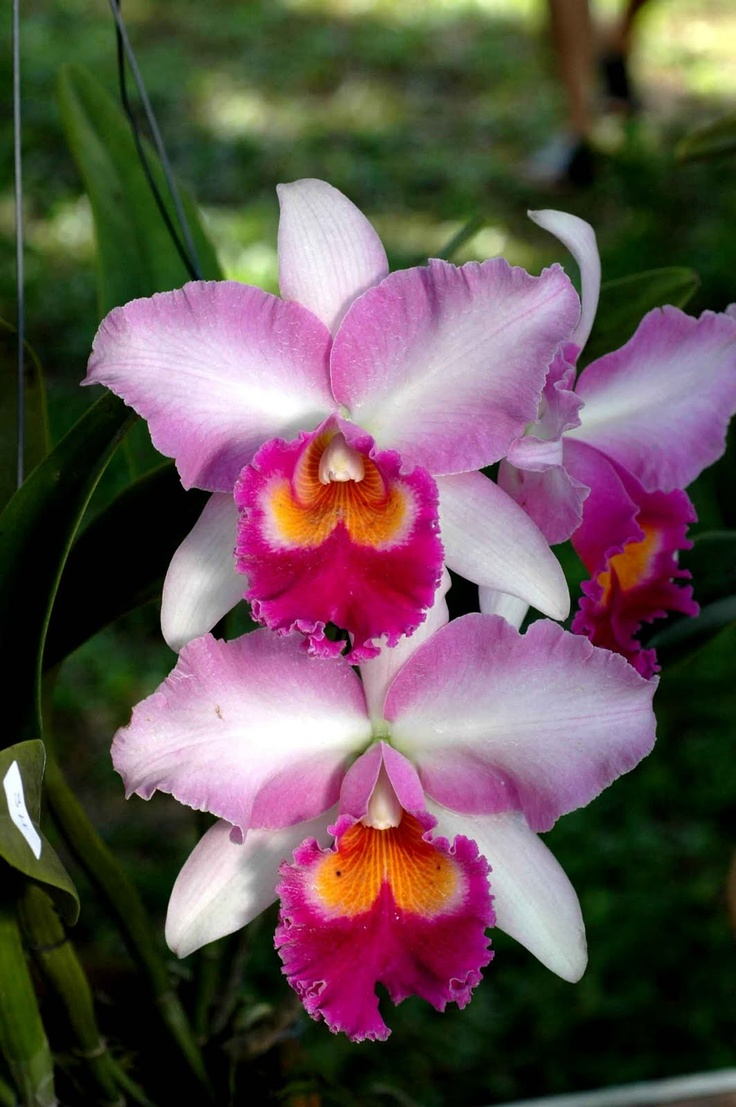 145 best images about flores on pinterest wisteria. Black Bedroom Furniture Sets. Home Design Ideas