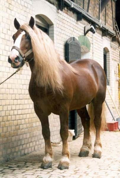 Black Forest horses (Schwarzwälder Kaltblut)