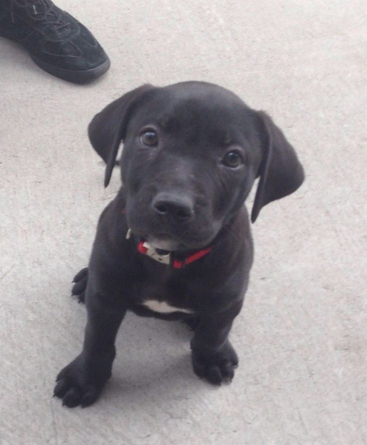 Pitbull-lab mix, six weeks old. His owner saw I was taking a picture while petting him, so told him to sit. Nice pose.