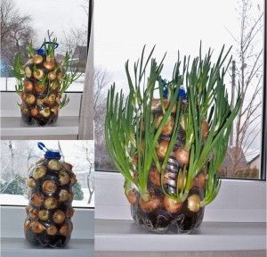Grow onions for greens indoors using a soda bottle.
