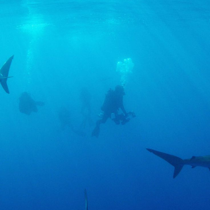 "Shark experts are surrounded by exceptionally large silky sharks in Cuban waters. From Shark Week 2015's ""Tiburones: Sharks of Cuba."""