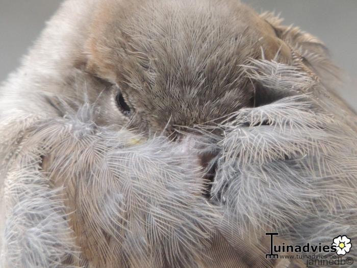 jonge slaperige mus