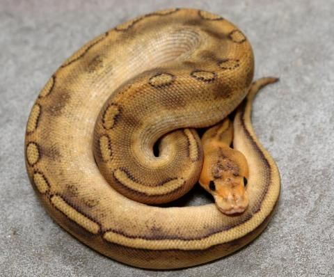 447 best images about Snakes on Pinterest | Pit viper ...