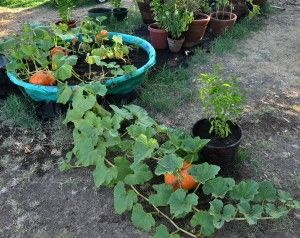 A Clever Way To Grow Pumpkins In Pot Errrrr Kid Swimming Pool Gardening And Greenery Pinterest Garden Vegetable Container
