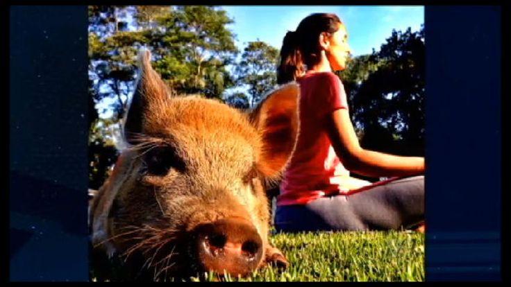 Mini porco vira estrela da internet e soma mais de 100 mil fãs - Vídeos - R7