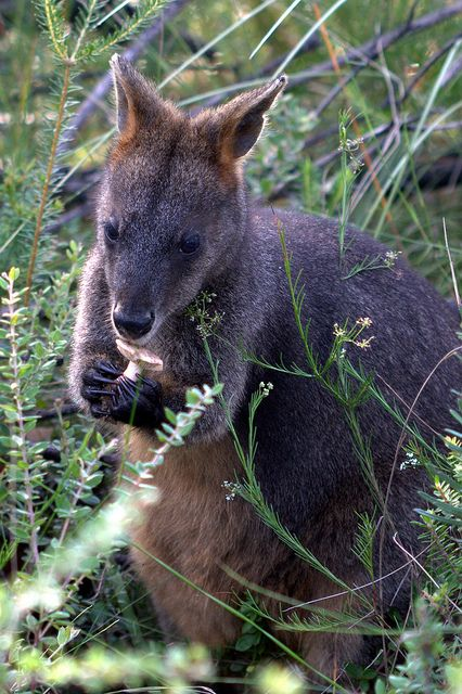 ♥ Swamp Wallaby