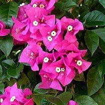 Bougainvillea glabra cv