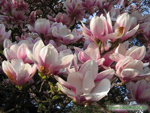 die besten 25 tulpen magnolie ideen auf pinterest. Black Bedroom Furniture Sets. Home Design Ideas