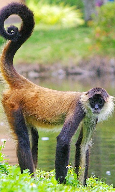 Spider Monkey....does whatever spider monkey does. (Sorry...couldn't help myself.)