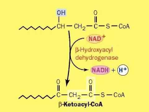 fatty acid metabolism / beta oxidation / β-Oxidation - YouTube
