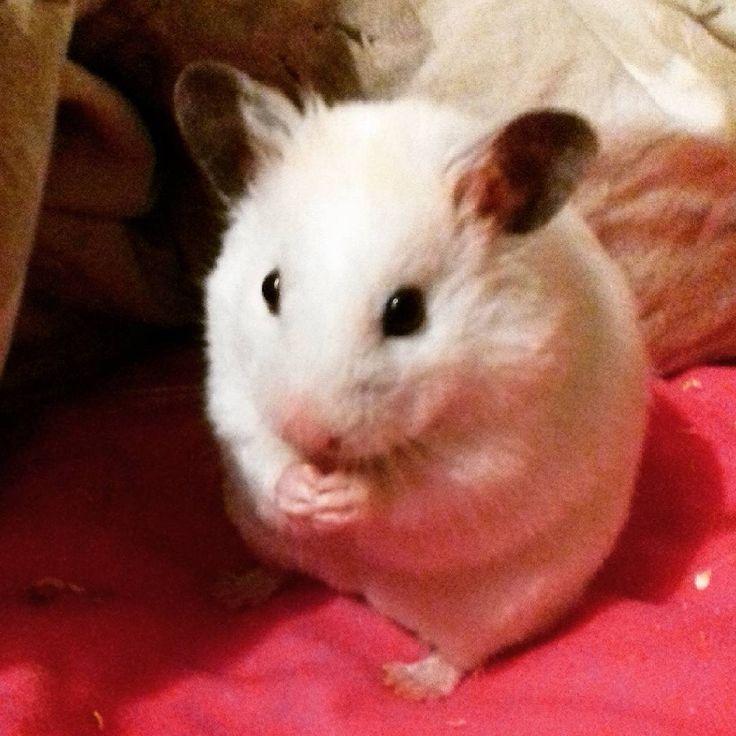syrian teddy bear hamster