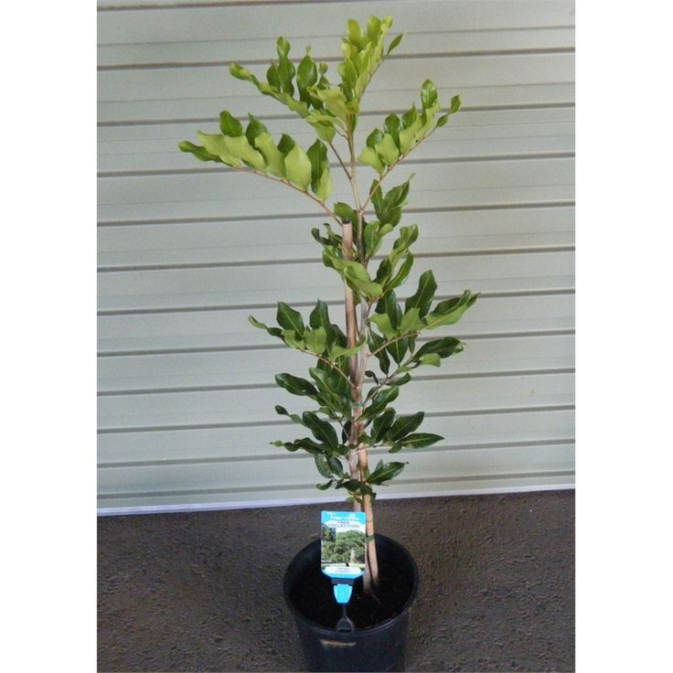 Find Plant-cupaniopsis 200mm Anacardoides at Bunnings Warehouse. Visit your local store for the widest range of garden products.