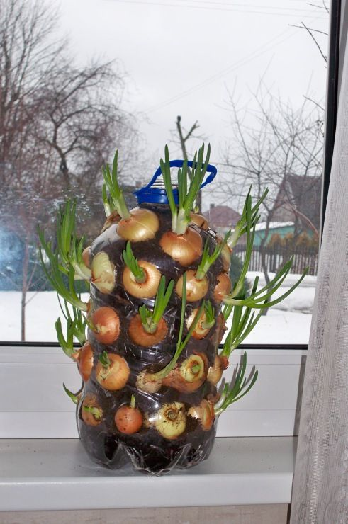 Vertical Onion Planter:  Now you can have a supply of fresh onions all the time!  Grow them in a sunny spot on your kitchen window sill using a plastic bottle as a vertical planter. Tutorial via 'Auntie Dogma's Garden Spot'