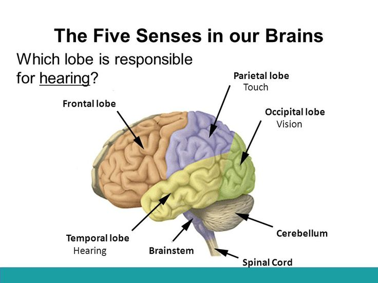 21 best senses and brain images on pinterest classroom ideas image result for 5 senses and the brain lesson plan ccuart Images