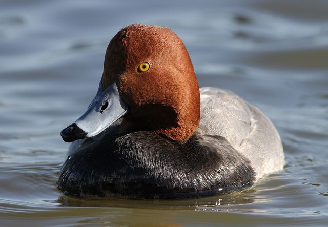 Redhead Duck | Redhead Duck Drake | Flickr - Photo Sharing!