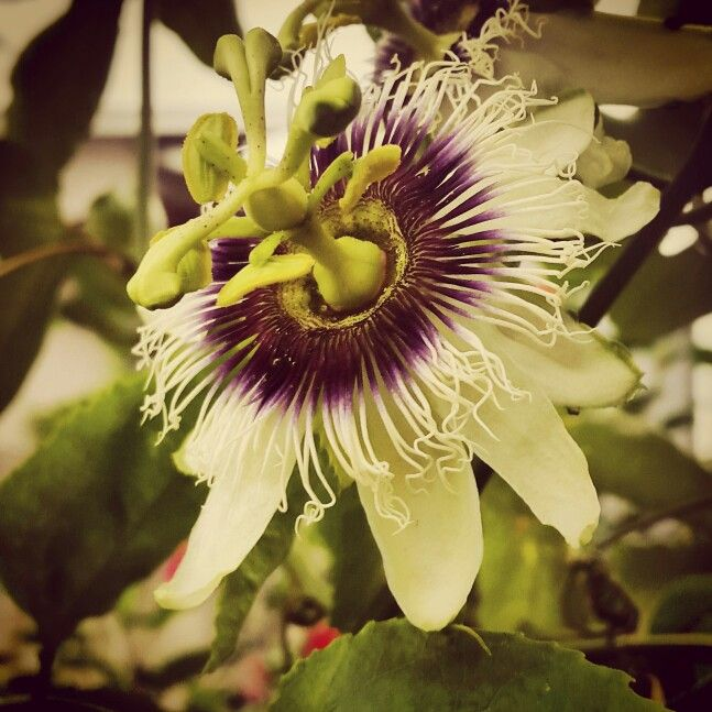 Passionfruit's flower
