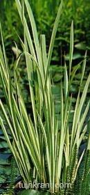 acorus calmus variegatus bonte kalmoes vijver/oeverplant -20/0 diep zon kan woekeren TK - Plantengids - Tuingids: waterplanten en vijverplanten voor de tuin - tuinkrant.com