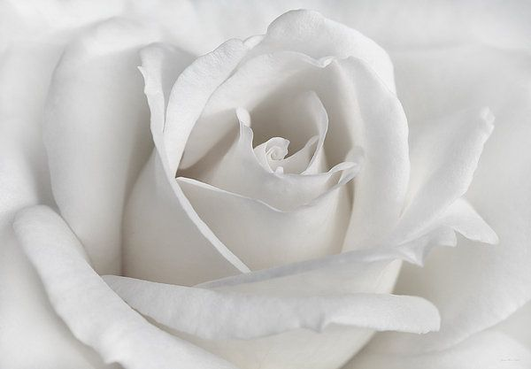 Purity of a white Rose flower. Photography art design for your home or office decor. #rose#white#macro