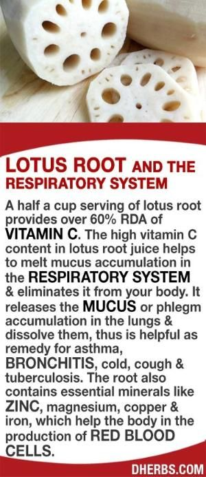 A half a cup serving of lotus root provides over 60% RDA of Vitamin C. The high vitamin C content in the juice helps to melt mucus accumulation in the respiratory system & eliminates it from your body. It releases the mucus or phlegm accumulation in the lungs & dissolve them, thus is helpful as remedy for asthma, bronchitis, cold, cough & tuberculosis. The root also contains essential minerals like zinc, magnesium, copper & iron, which help the body in the production of red blood cells…