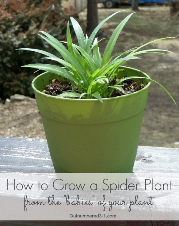 How to grow a spider plant from the babies of your plant