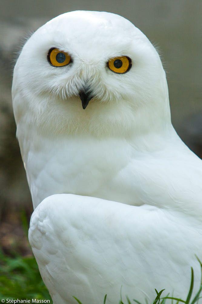 Snowy Owl by Stéphanie Masson on 500px - Portrait of a white owl.