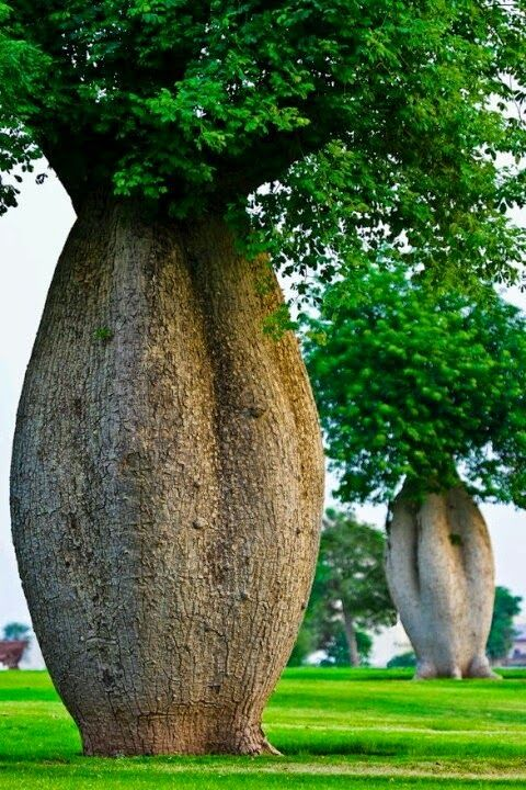 Toborochi Tree (Ceiba speciosa), native to central South America, also known as a 'bottle tree' or 'drunken stick'