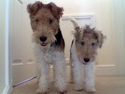 wire hair fox terrier - this could be Mac and Heather, the two live wires who let me live with them the 80's.