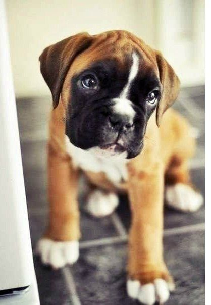 Baby Boxer I am going to bring one home someday and no one ...