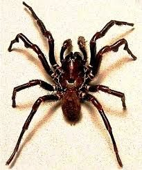 Image result for photos of sydney funnel web spider