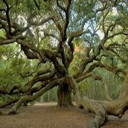 Angel Oak--Johns Island--believed to be between 500 and 1,500 years old