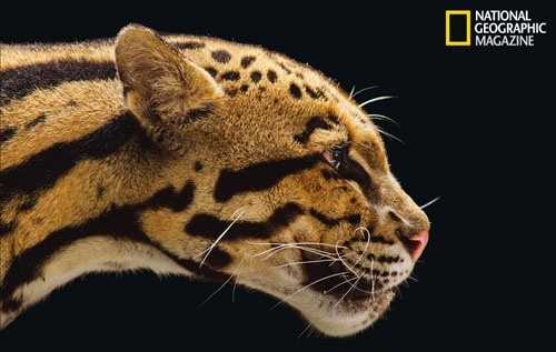 Rama the CLouded Leopard from the Houston Zoo