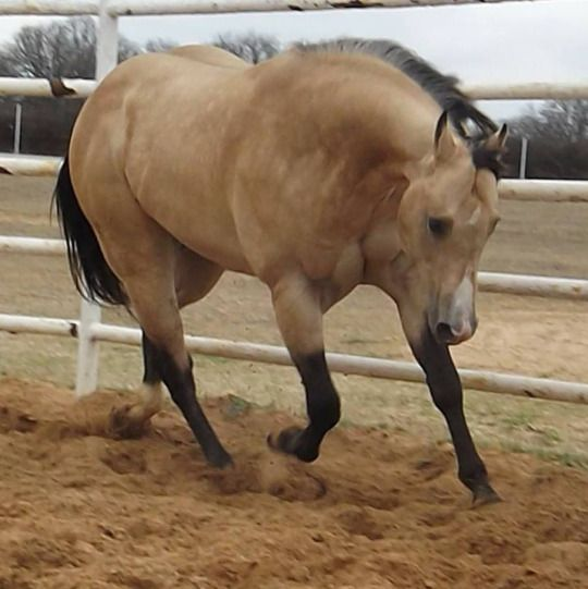 Meet Blue he is a double registered qh buckskin his show name is Blue  Night Lucky he is quiet and he won't disappoint bid starts at 20,000