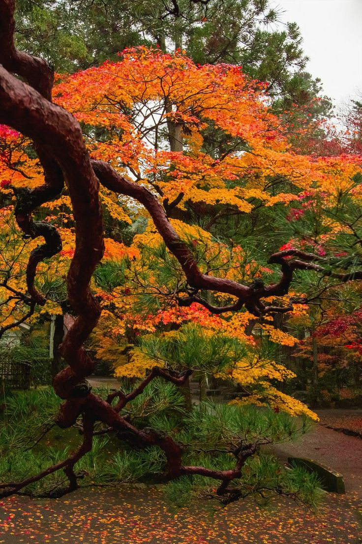 Autumn entwined ... Japanese Maple and Pine